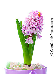 pink hyacinth flowers, isolated on white background