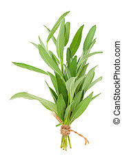 green sage plant, isolated on white background.