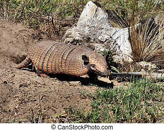 Armadillo in the Brazilian Pantanal