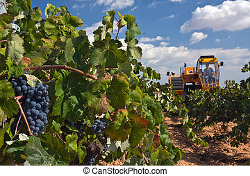 Automatic combine-harvester gathering grape in Spain