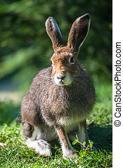 Mountain Hare lat Lepus timidus with brown hair in summer