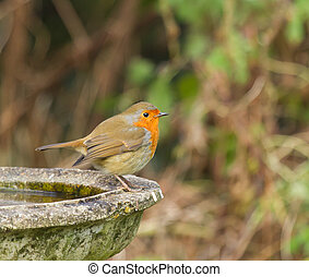 Robin on Bird Bath - European Robin on Bird Bath