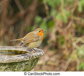Robin on Bird Bath - European Robin on Bird Bath