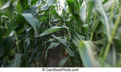 Walk along between rows of Maize - Steady walk along path...