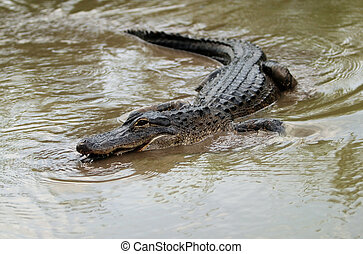American alligator - Swimming alligator (in nature), Florida...