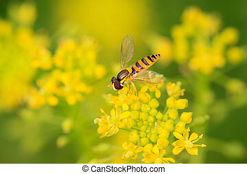 syrphidae insects - a kind of insects named syrphidae on a...