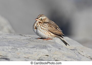 Ipswich Savannah Sparrow in Winter - Ipswich Savannah...