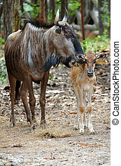 wildebeest - The main differences between the black and blue...