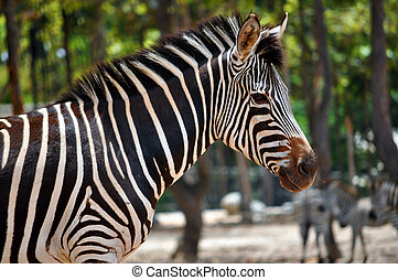 Zebras are African equids horse family best known for their...
