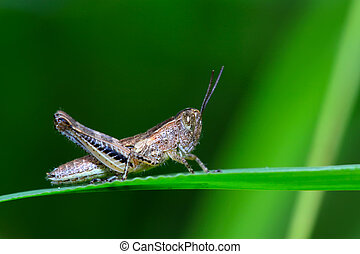 orthoptera locust - a kind of orthoptera insects on the leaf...
