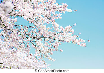 cherry-blossom over the clear sky