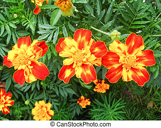 A beautiful flower of tagetes - A beautiful flower of motley...