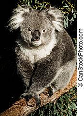 Koala, su, natural, habitat