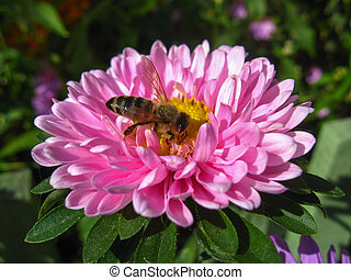 The bee sitting on the aster - The bee sitting on the and...
