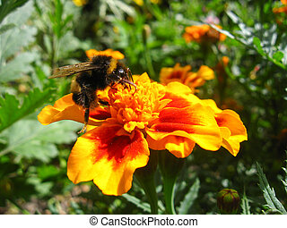 Bumblebee on a flower of tagetes - the image of bumblebee on...