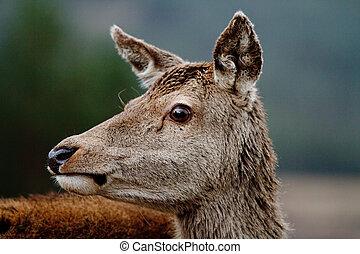 Fallow deer - close up profile of a fallow deer