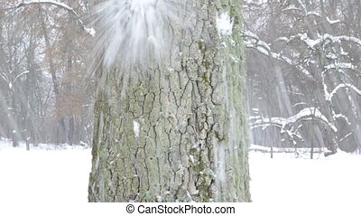 trunk snowball hit snow - old tree trunk bark closeup and...