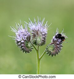 red-tailed bumble bee on lacy phacelia - bumble bee on lacy...