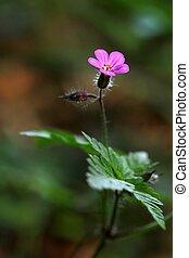 geranium in the forest-macro