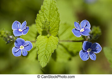 Veronica chamaedrys - blue small flower Veronica chamaedrys...