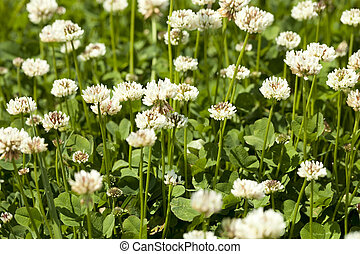 white clover - white flower clover on green background  leaf