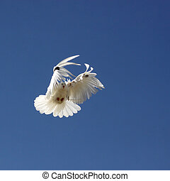 Dove in the air with wings wide open in-front of the blue...