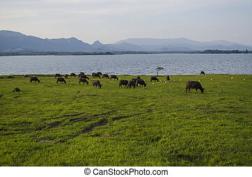 Buffalo eating grass Capture at Malaysia