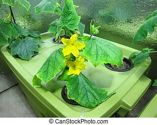 Cucumber hydroponic plants in green - Cucumber hydroponic...