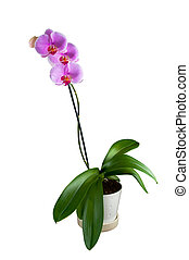 Phalaenopsis - Tropical Orchid against White Background...