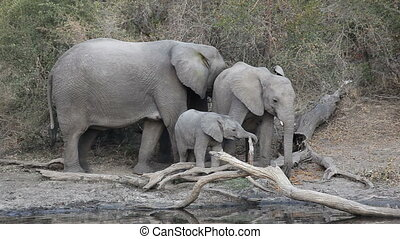 African elephants (Loxodonta africana) at a waterhole, South...