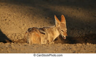 Black-backed Jackal - A black-backed Jackal Canis mesomelas...