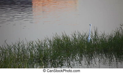 Heron. - Heron standing in the shallow lake.