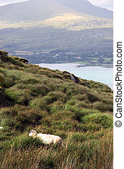 mountain sheep 5 - mountain sheep grazing on a hillside on...