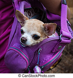 Small dog - Little lovely dog in the purple bag of...