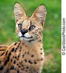 Serval portrait - A serval cat focuses attentively with its...