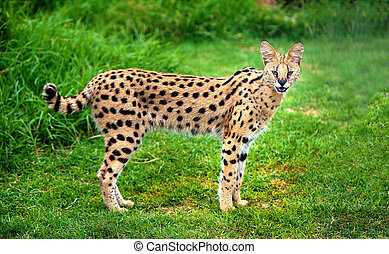 Alert serval cat - An alert serval cat fixes its eyes and...