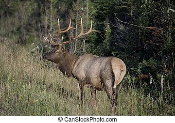 Elks Velvet antlers - Elk\\\'s Velvet antlers glowing in...