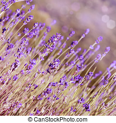 Lavender flowers bloom summer time - Lavender flowers bloom...