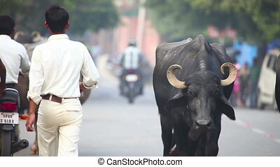 Indian Buffalos. - Indian buffalos on the streets of Agra,...