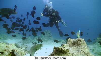Napoleon fish and divers on Coral Reef, Red sea