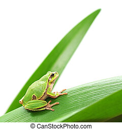 frog sitting on a leaf - macro of a tree frog sitting on a...
