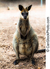 closeup, Red-necked, wallaby, (Macropus, rufogriseus)