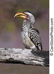 Yellow-Billed Hornbill - Closeup of a Yellow-Billed Hornbill...