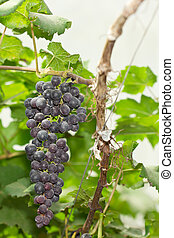 Grape Vine - Bunches of ripe grapes among green leaves in...