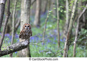 Tawny Owl In Forest - Tawny Owl in a forest in England.