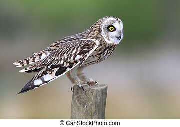 Short-Eared Owl - Closeup of a Short-Eared Owl on a...