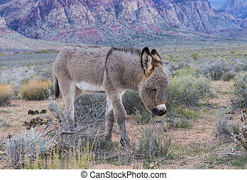 Wild burros - A young wild burro in the Nevada desert