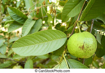guava fruit on the tree