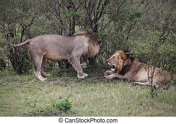 Conflict In Kenya - Male Lion walking towards another lion...