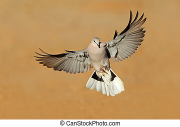 Cape turtle dove in flight - Cape turtle dove (Streptopelia...